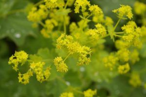 alchemilka kvety