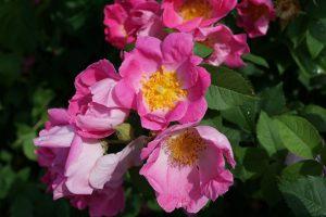 šípky - kvet