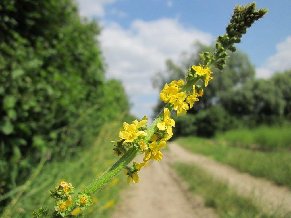 protizápalové bylinky