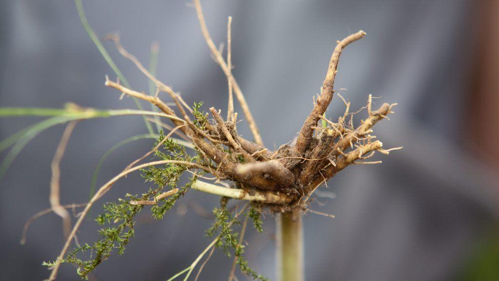 valeriána koreň