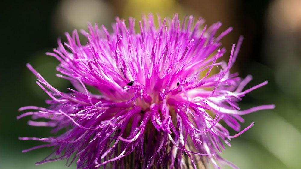 leuzea kvet