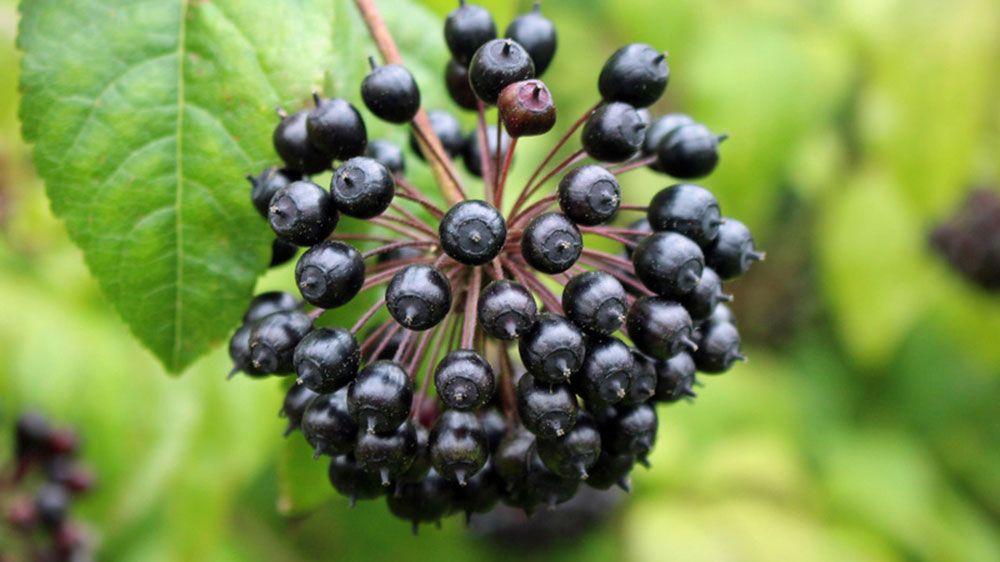 všehojovec plod