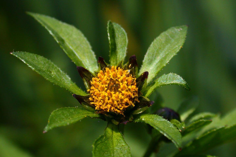 dvojzub kvet