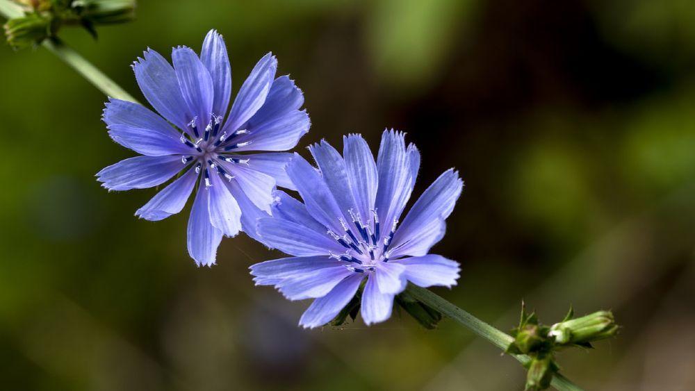 dva modré kvety čakanky